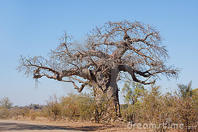Arbre de baobab