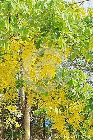 arbre de fistule de casse avec les fleurs jaunes photo stock image 53041354. Black Bedroom Furniture Sets. Home Design Ideas