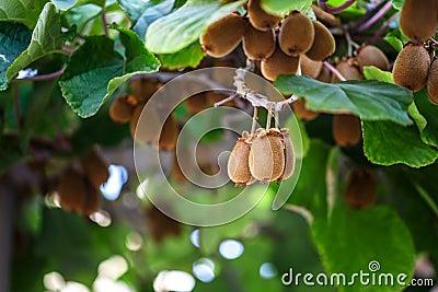arbre de kiwi avec le fruit et les feuilles photo stock image 79234543. Black Bedroom Furniture Sets. Home Design Ideas
