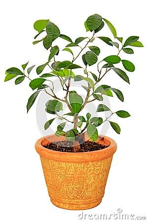 Arbre de mandarine de plante d 39 int rieur photographie for Plante arbre interieur