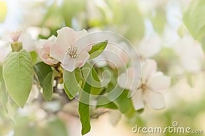 arbre fruitier fleurissant fleur de coing photo stock image 39559478. Black Bedroom Furniture Sets. Home Design Ideas