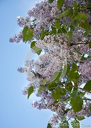 Arbre lilas