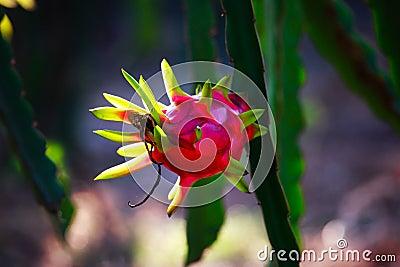 Arbre rouge de fruit du dragon dans le jardin photo stock image 59666795 - Arbre fruit du dragon ...
