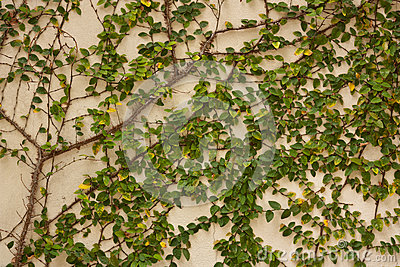 arbre vert de plante grimpante sur le mur photo stock image 40915148. Black Bedroom Furniture Sets. Home Design Ideas