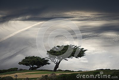 Arbre Windblown