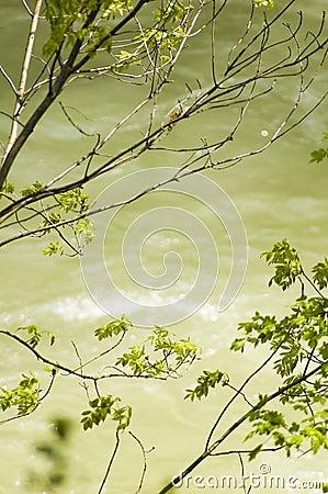 Arbres au-dessus du fleuve de Cerna