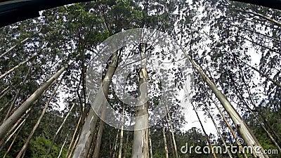 Arbres d'eucalyptus grands enlevés du train banque de vidéos