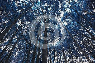 Arbres forestiers bleus