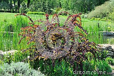 arbuste avec des feuilles de bourgogne et des fleurs jaunes images stock image 31860564. Black Bedroom Furniture Sets. Home Design Ideas