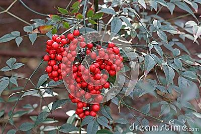 arbuste avec les baies rouges photos libres de droits image 38376248. Black Bedroom Furniture Sets. Home Design Ideas