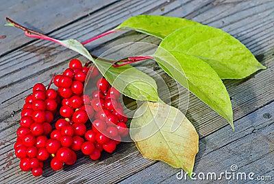 Arbuste de viburnum avec les baies rouges photos libres de droits image 16652188 - Arbuste a baies rouges ...
