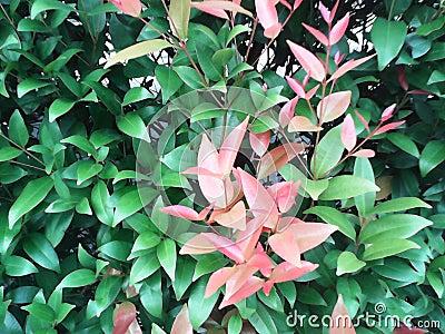arbustes verts avec de jeunes feuilles rouges photo stock image 44870760. Black Bedroom Furniture Sets. Home Design Ideas