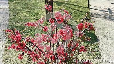 Arbusto com as flores vermelhas na brisa filme