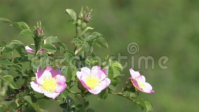Arbusto cor-de-rosa do c?o na brisa vídeos de arquivo