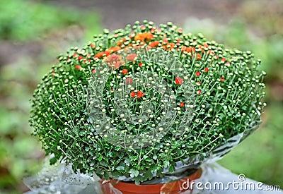 Arbusto rojo del crisantemo en maceta