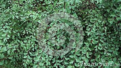 Arbusto verde no orvalho video estoque
