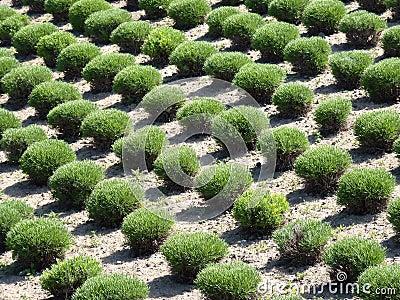 Arbustos Manicured en filas