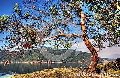 [Image: arbutus-tree-17717996.jpg]