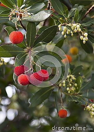 Arbutus Unedo tree