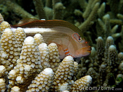 Arc-eye Hawkfish Fiji