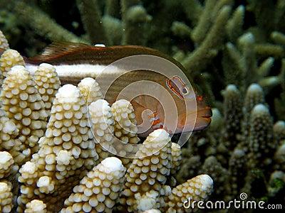 Arc-eye Hawkfish Fiji