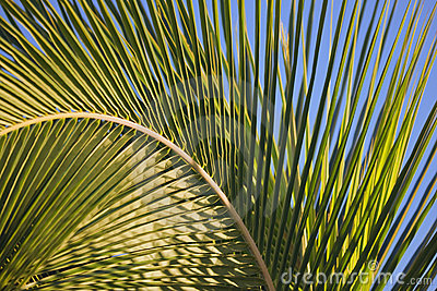 Arched Palm Frond