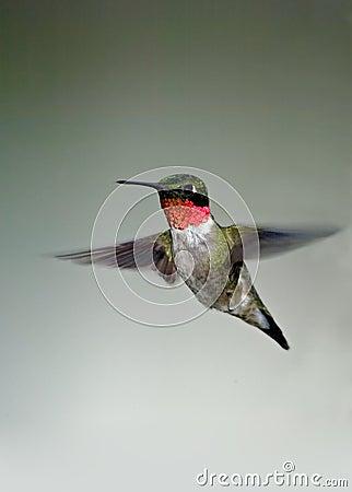 Archilocuhs colubris红喉刺莺蜂鸟的红宝石