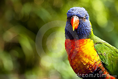 Arco-íris australiano Lorikeet