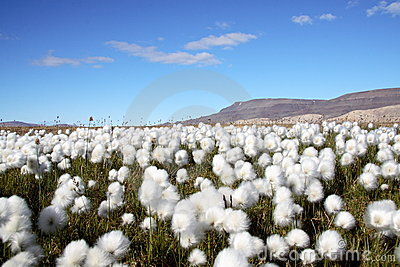 Arctic Cotton Grass Scene