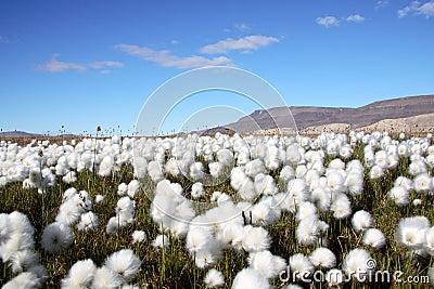 Arctic Cotton Grass Scene