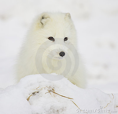 Free Arctic Fox Royalty Free Stock Photography - 17643797