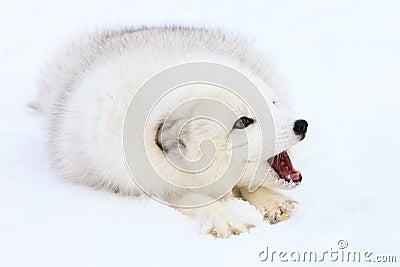 Arctic fox barking