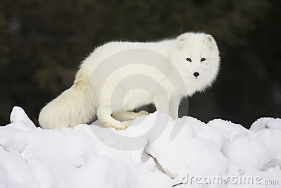 Arctic Fox in deep white snow
