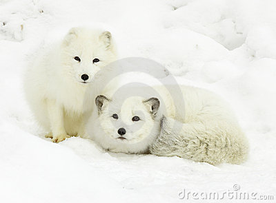 Arctic Fox Pair Stock Images Image 13145014