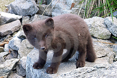 Arctic fox, polar fox(unexplored wilderness)