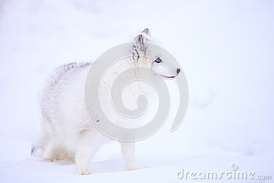 Arctic Fox in Profile
