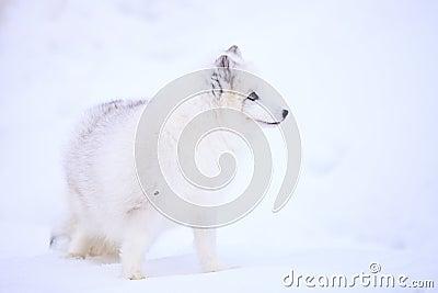 Arctic Fox in Profile