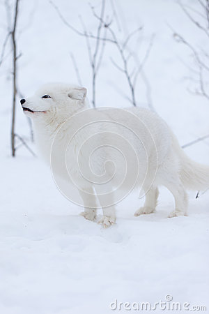 Arctic Fox in the snow