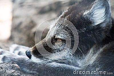Arctic Fox in summer colors