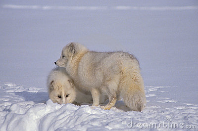 Arctic Foxes in Snow