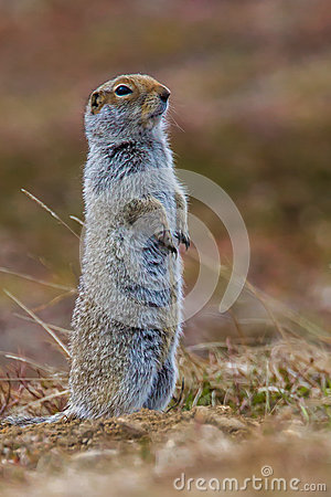 Free Arctic Ground Squirrel Royalty Free Stock Images - 42195969