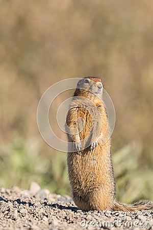 Free Arctic Ground Squirrel Royalty Free Stock Photos - 76292768