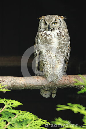 Arctic horned owl