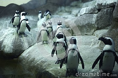Arctic Pinguins
