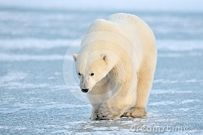 Arctic, Polar Bear