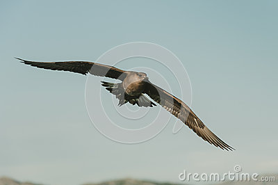 Arctic Skua in flight