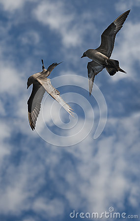 Free Arctic Skuas Stock Photo - 25138810