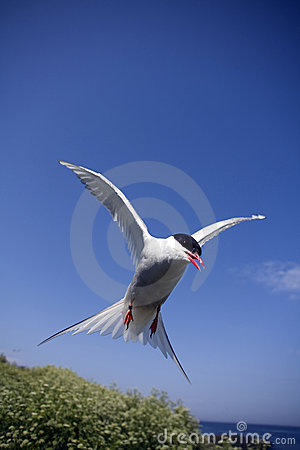 Arctic Tern Attacking Royalty Free Stock Photography - Image: 10068847