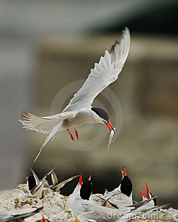 Arctic Tern Feeding Babies Stock Photography - Image: 4427742