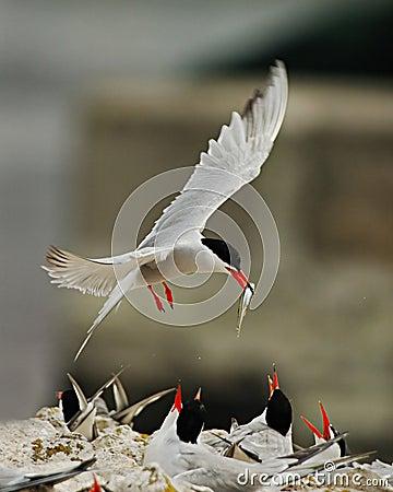 Arctic Tern Feeding Babies